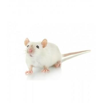 Souris congelée mouse medium 20 gr - 12 jours