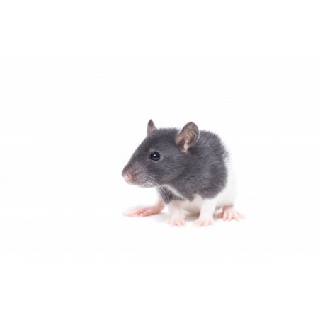 Rat congelé 70-90 gr